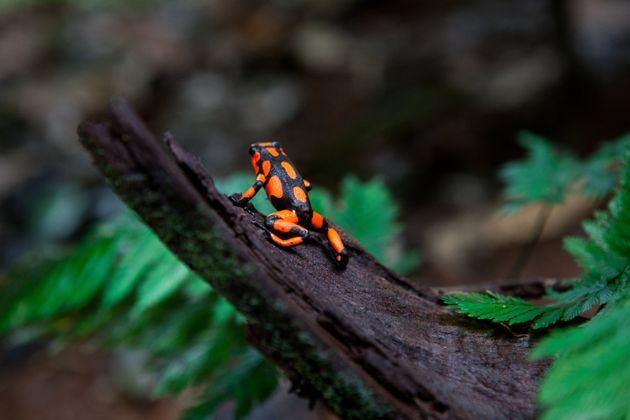 A poisonous harlequin dart frog on a tree trunk in the jungle on Oct. 4, 2012, in Utria National Park,