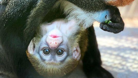 「世界一美しいサル」の赤ちゃんすくすく成長中 東武動物公園