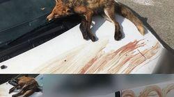 Un défenseur des animaux découvre un renard mort sur sa