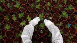 L'expérimentation du cannabis thérapeutique reportée à cause du