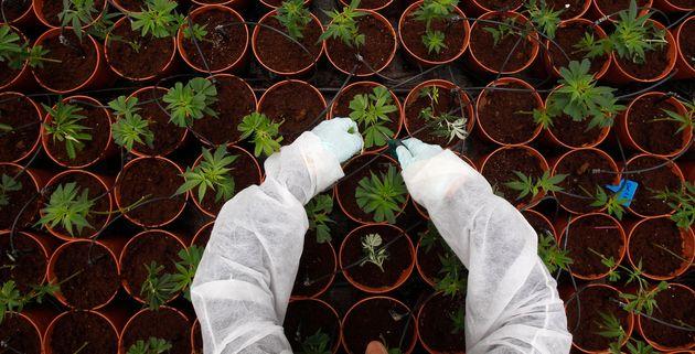 Une plantation de cannabis thérapeutique en Israël. En France, le cannabis thérapeutique...