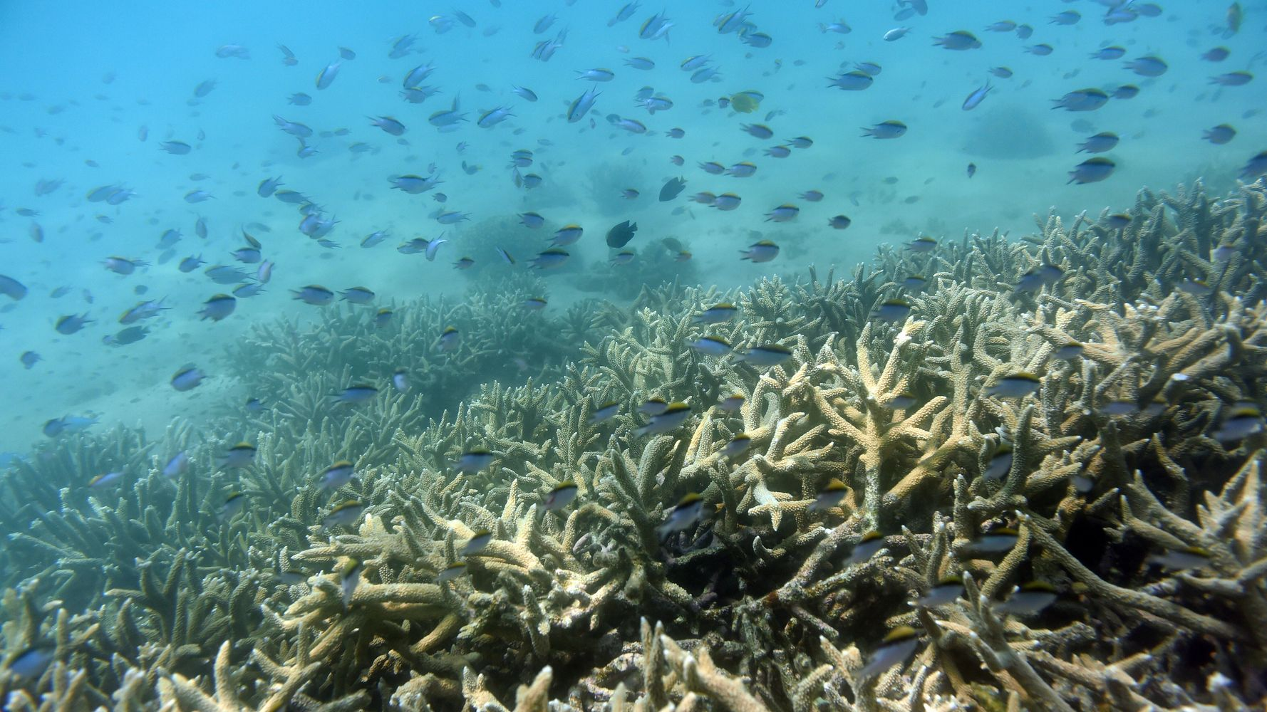 Australia's Great Barrier Reef Suffers Its Most Extensive Coral Bleaching Event