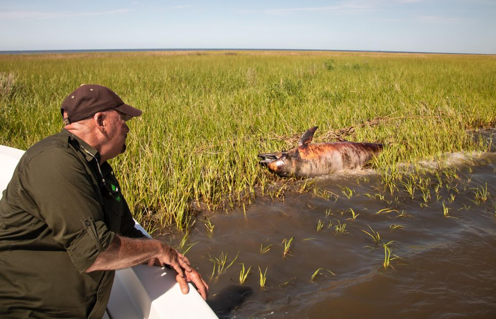 George Ricks next to a dead dolphin in Breton Sound off St. Bernard Parish. Dolphins began to die off without explanation in