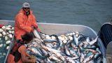Salmon in fishing boat on Naknek River, Alaska, photo