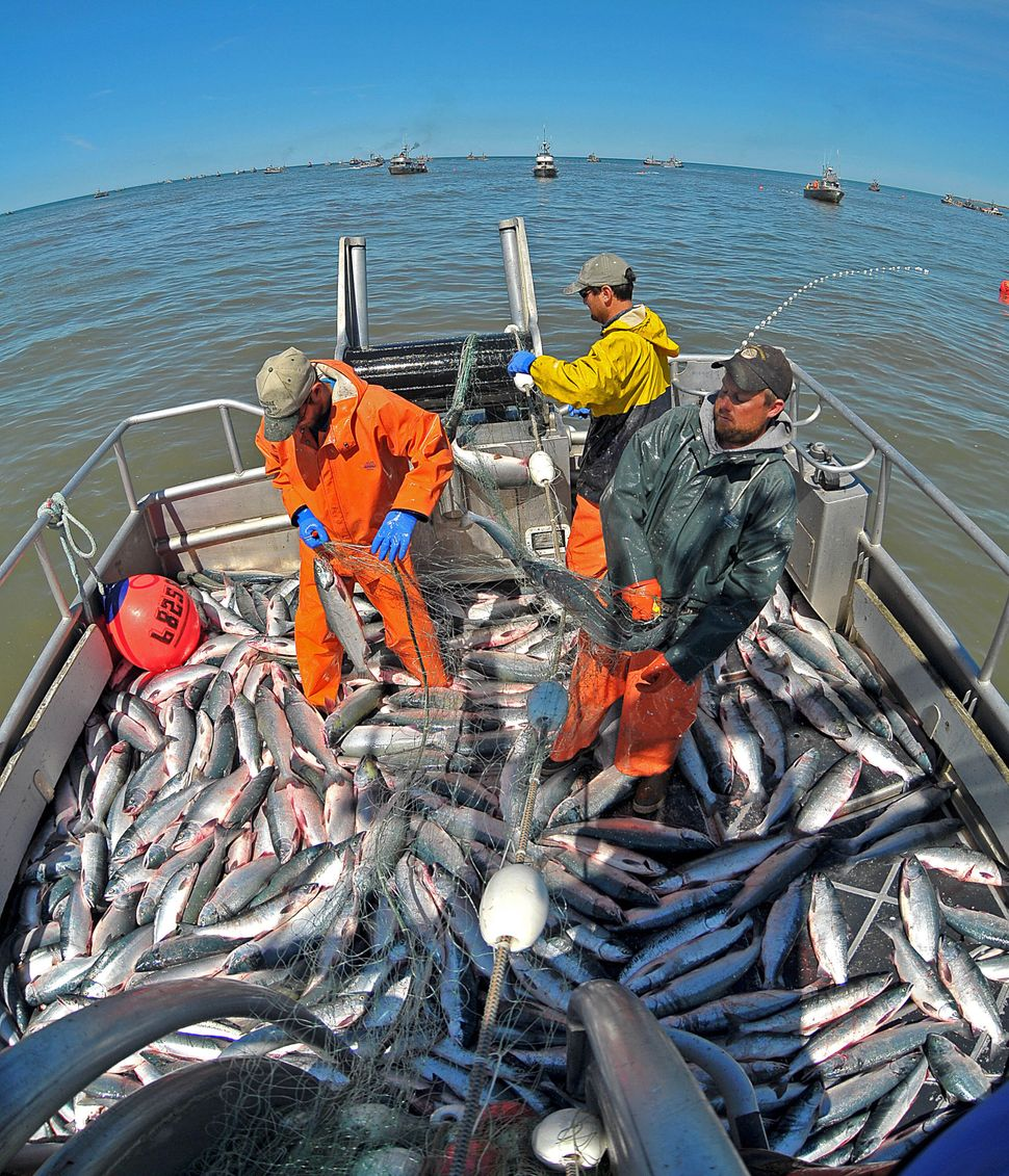 In this 2009 file photo, fishermen work to remove sockeye salmon from their net in the Egegik district of the Bristol Bay, Al
