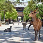 奈良のシカ、観光客減で「快腸」に。鹿せんべいの食べ過ぎだった...?