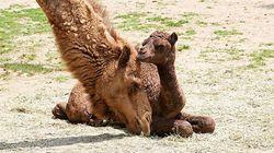 서울대공원에서 태어난 생후 1개월 아기 낙타 '거봉'이의 대단한 롱다리 (사진,