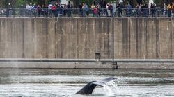 Montreal's Adored Humpback Whale Has