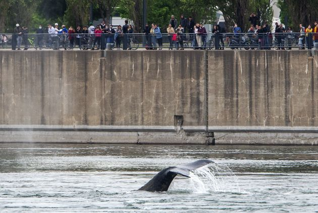 In Montreal's Old Port, a humpback whale swims for people watching from above on June 2,