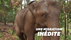 Avec le coronavirus, la grande migration des éléphants de