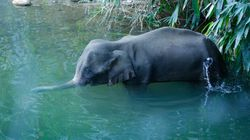 Beyond Cruelty And Innocence: What the Death Of An Elephant In Kerala Tells Us About