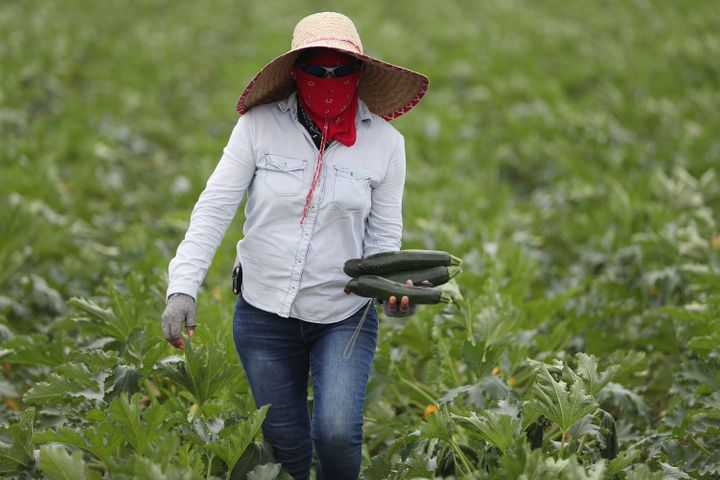 A farm worker helps harvest zucchini on the Sam Accursio & Son's Farm in April in Florida City, Florida.