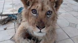 Rescatan a un león al que le rompieron las patas para que no escapara de las fotos con