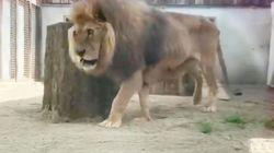 Magro, senza artigli e coi denti limati: il leone Jon salvato dai maltrattamenti del