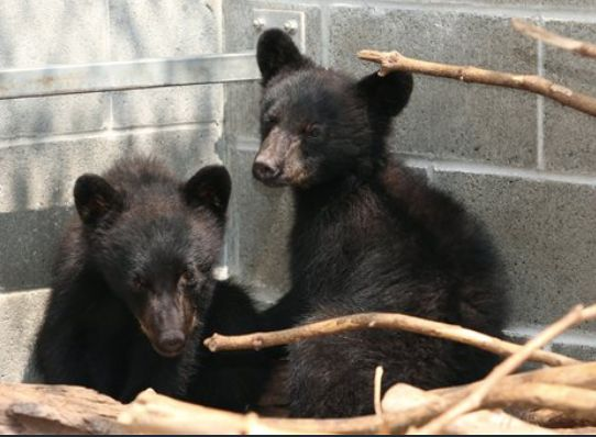 Bear cubs Athena and Jordan at the North Island Wildlife Recovery Association in Errington, British Columbia,...