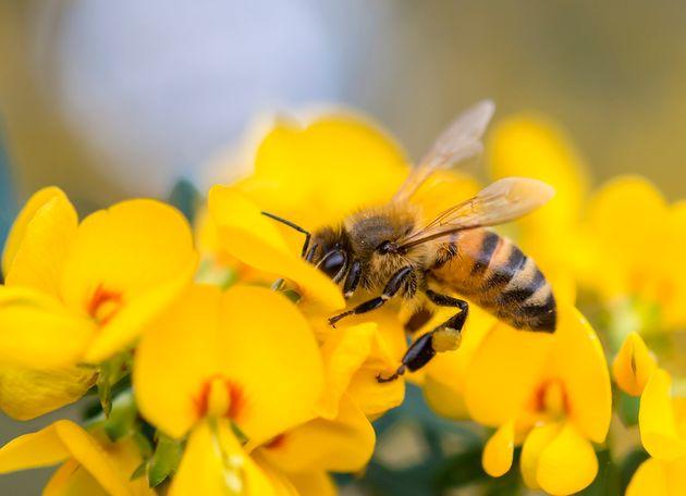 Punto da un'ape: 28enne muore per shock