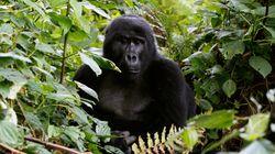 Ουγκάντα: Λαθροκυνηγοί σκότωσαν τον διάσημο και σπάνιο