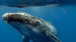 La triste storia di Codamozza, la balena scodata e sola che vaga nel