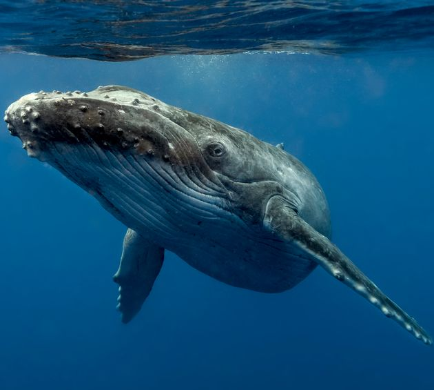 A young Curious Humpback
