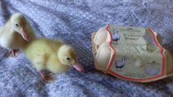 Βρετανία: Αγόρασε αυγά πάπιας στο σουπερμάρκετ και ένα μήνα αργότερα απέκτησε τους Μπιπ, Πιπ και