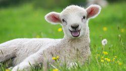 Les moutons seront de retour au parc Maisonneuve tout