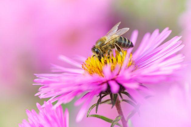 Face à la disparition des abeilles, et donc de leur rôle de pollinisatrices de la nature,...