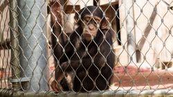 Ινδία: Αλκοολική μαϊμού σκότωσε άνθρωπο και τραυμάτισε άλλους