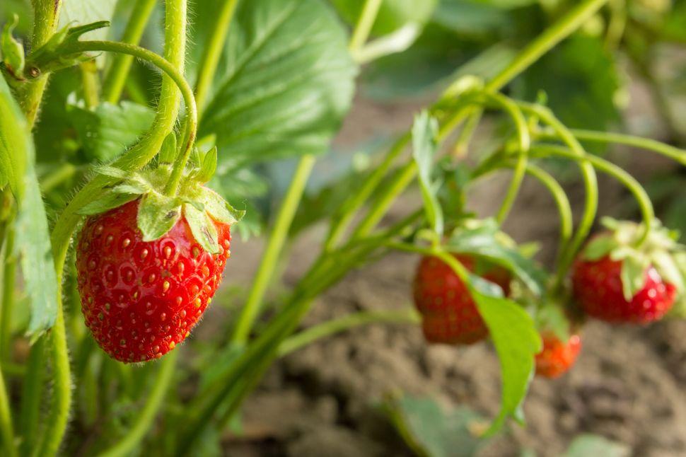 Des fraises du Québec risquent fort de pourrir sur les plants cet été.