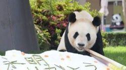 パンダのお父さん、またファミリー増えるといいね!赤ちゃん誕生したら父親の世界最高齢を更新へ