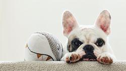 38 cuccioli di bulldog trovati morti su un aereo.