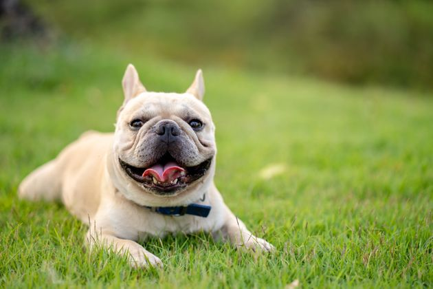 Cute looking french bulldog laying on the