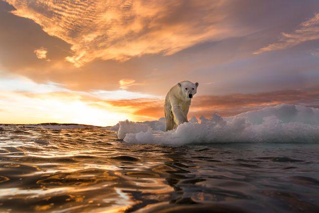 溶けつつある海氷の上に立つホッキョクグマ