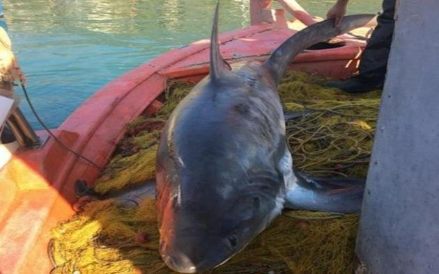 Το καρχαριοειδές «Αλεπού»,...