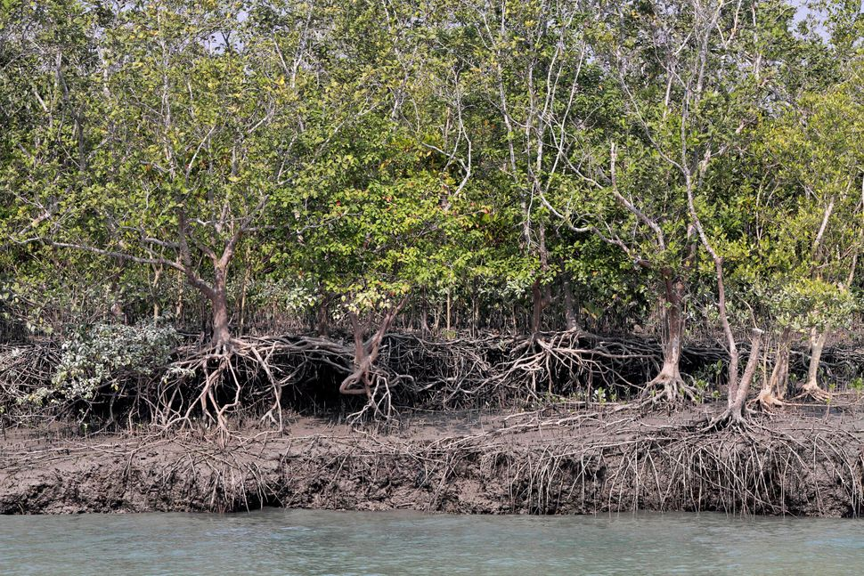 The freshwater swamps in the Sundarbans and their tangles of mangrove forests act as a crucial natural buffer against cyclone