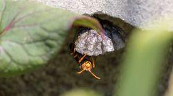 スズメバチの巣づくりの季節 見つけたらどうする?