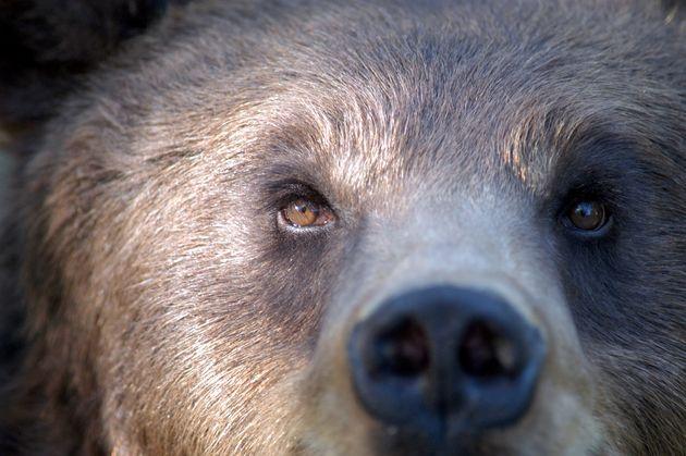 Europe, Italy, Trentino Alto Adige, Spormaggiore, Adamello-brenta Natural Park, Brown Bear (Photo by...