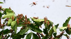 Locusts Enter Uttar Pradesh, Alert In Bihar: 5 Things To