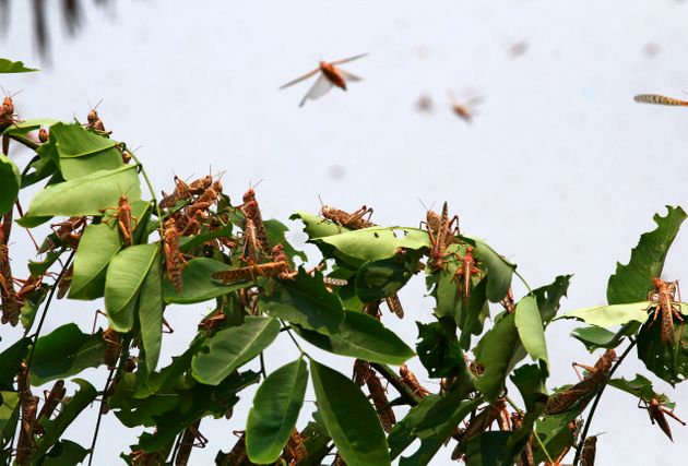Locusts on a tree in the residential areas of Allahabad on June 11,