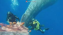 El rescate de una ballena atrapada en una red de pesca ilegal en