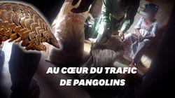 Une enquête choc sur la chasse au pangolin pendant le Covid-19 sur France