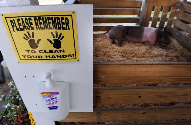 Une souche du virus de grippe porcine aurait toutes les caractéristiques pour causer une nouvelle...