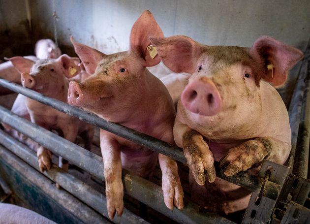 Νέο στέλεχος της γρίπης των χοίρων εμφανίστηκε στην Κίνα - Μπορεί να προκαλέσει νέα