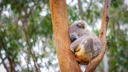 Τα κοάλα θα εξαφανιστούν από τη Νέα Νότια Ουαλία μέχρι το 2050, σύμφωνα με