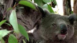Los koalas podrían extinguirse en el este de Australia en