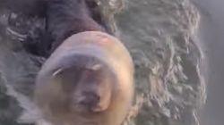 Una familia salva a un oso al que encuentran nadando con un bote en la