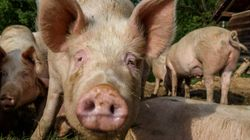 New Flu Found In Pigs Could Become 'Pandemic Virus':