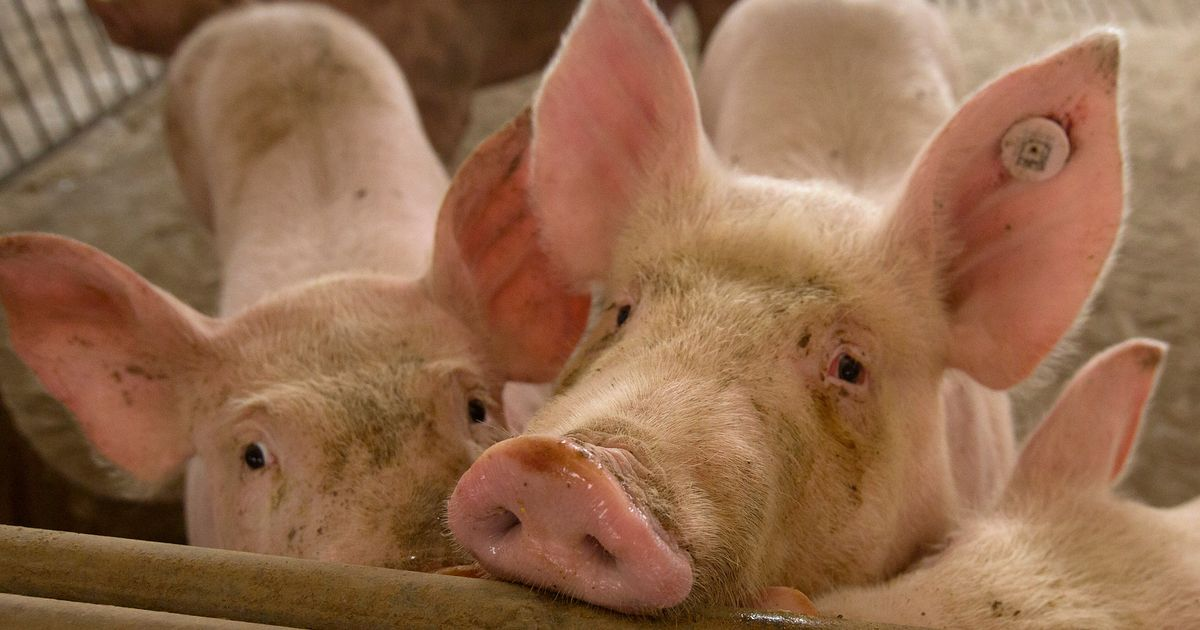 New Flu Virus Found In Pigs In China Has Pandemic Potential, Say Researchers