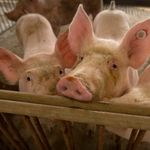 New Flu Virus Found In Pigs In China Has Pandemic Potential, Say