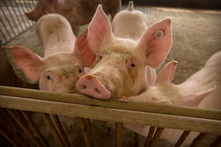 In this May 8, 2019, photo, pigs stand in a barn at a pig farm in Jiangjiaqiao village in northern China's Hebei province.