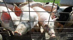 중국서 신종 돼지독감 바이러스의 사람 전파 사례가